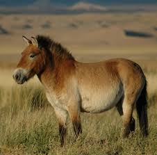 the Przewalski horse.